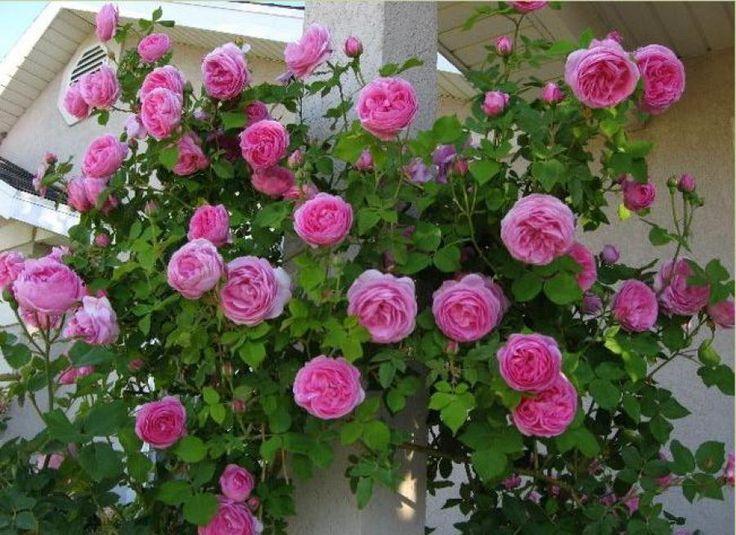 louise odier rose flowers roses pinterest. Black Bedroom Furniture Sets. Home Design Ideas