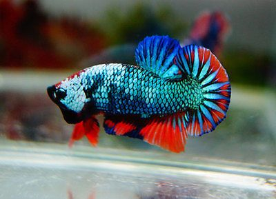 Live betta fish monster fancy dragon fire 11 hmpk for Live dragon koi fish