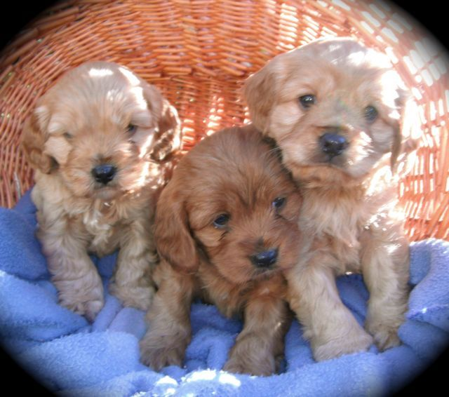 Cavoodle puppies | The cutest animals | Pinterest