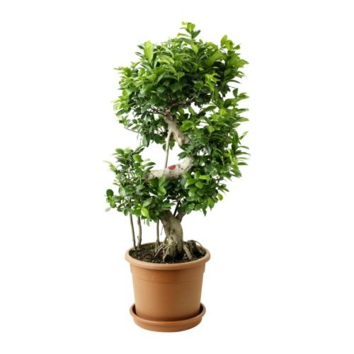 ficus ginseng bonsai gardening pinterest. Black Bedroom Furniture Sets. Home Design Ideas