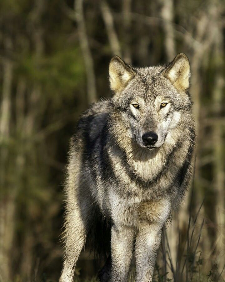 Mexican grey wolf - photo#23