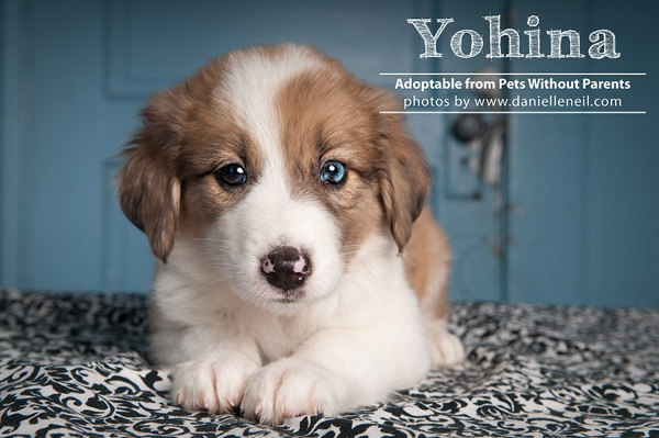 Yohina is almost two months old. Border Collie Australian Shepherd Mix puppy adoptable from www.petswithoutparents.net