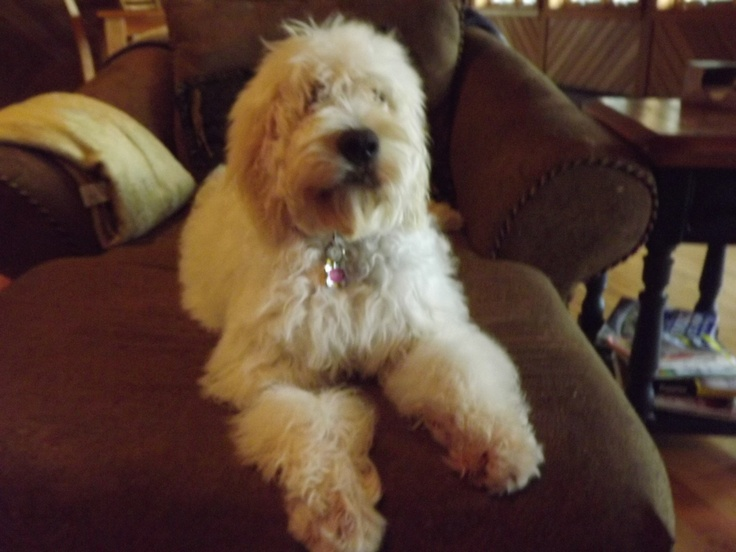 6 months old | Sadie: Our Goldendoodle | Pinterest