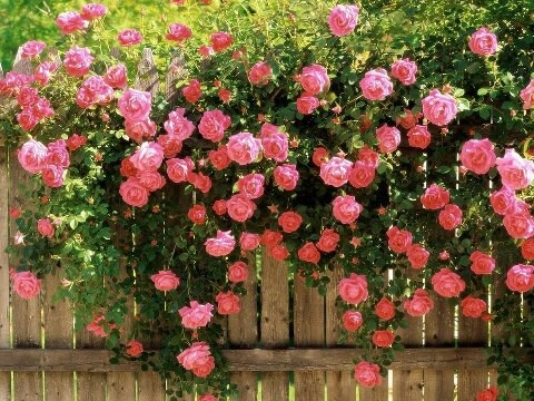 Climbing roses fence beautify with flowers fence for Climbing flowering plants for fences