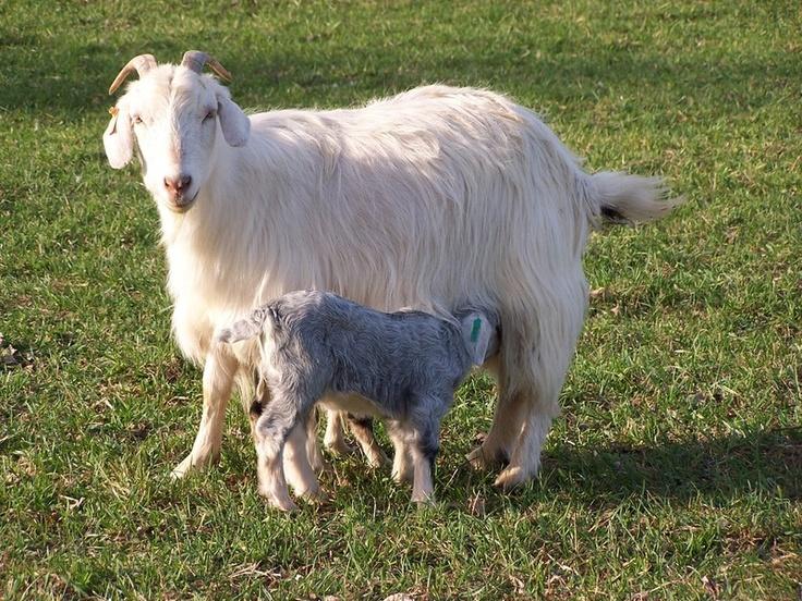 Baby cashmere goat - photo#24