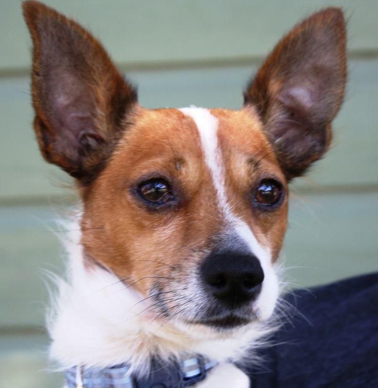 Jack Russell Rat Terrier mix | Rat terriers | Pinterest