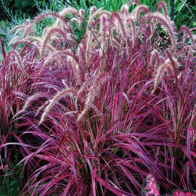 39 fireworks 39 fountain grass the girliest of grasses for Fountain grass for shade