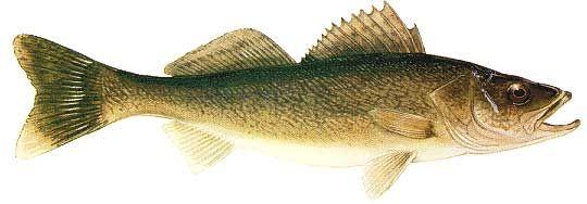 Minnesota state fish walleye homeschool m m co op for Walleye fishing minnesota