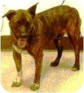 """ Breed: Catahoula Leopard Dog/Labrador Retriever Mix Color: Brindle"