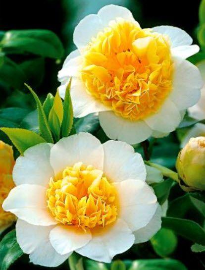 Brushfields Yellow (Camellia japonica)