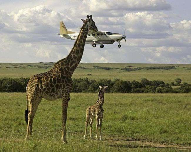 giraffe eating plane