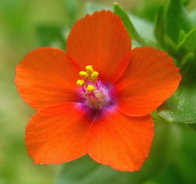 Scarlet pimpernel (Anagallis arvensis) | flowers | Pinterest