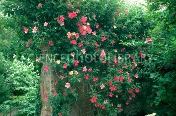 B8340907 rosa x odorata mutabilis spl 350×231 pixels