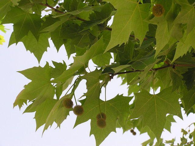 Platanus occidentalis   wetland tree   leafPlatanus Occidentalis Leaf