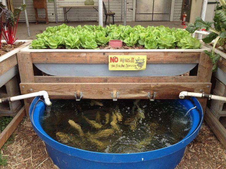 Backyard aquaponics gardening pinterest for Koi pond hydroponics