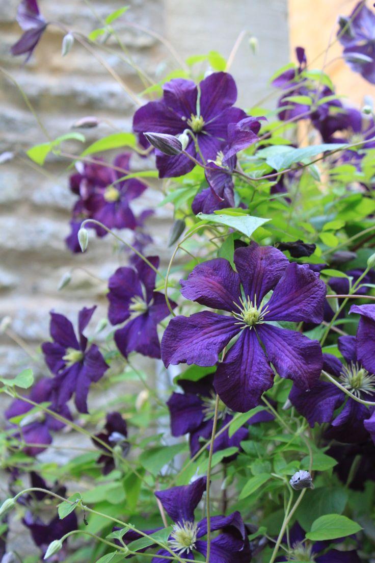 clematis 39 polish spirit 39 flowers pinterest. Black Bedroom Furniture Sets. Home Design Ideas