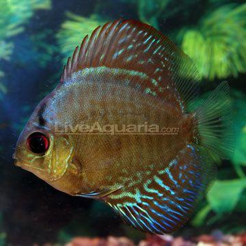 Ocean Green Discus Tropical Fish Pinterest