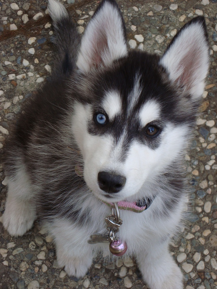 pin baby huskies pictures - photo #18