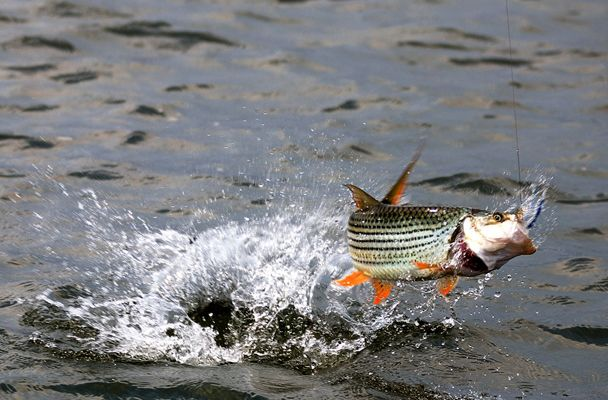Tiger fish my beats 4 africa pinterest for Tiger fish pictures