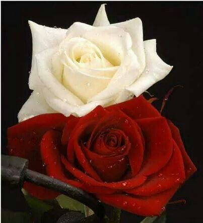 White and Red Rose | Beautiful Roses | Pinterest