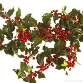 Green Holly is ever-so-popular at holiday times! Green prickly leaves with red berries look great in bouquets and arrangements of holiday flowers as well as centerpieces and mantle decor. Visit GrowersBox.com for a great selection of Christmas Greens for the holidays!