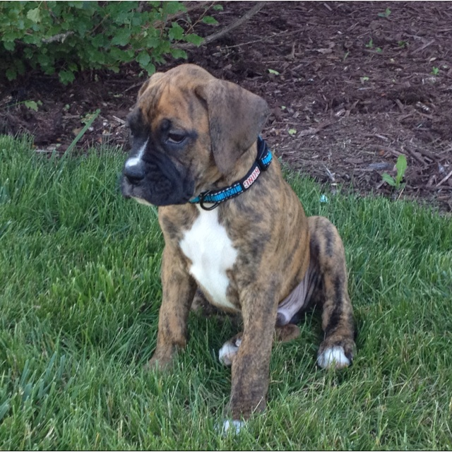 Brindle boxer puppy sadies twin beauty fashion for Brindle boxer