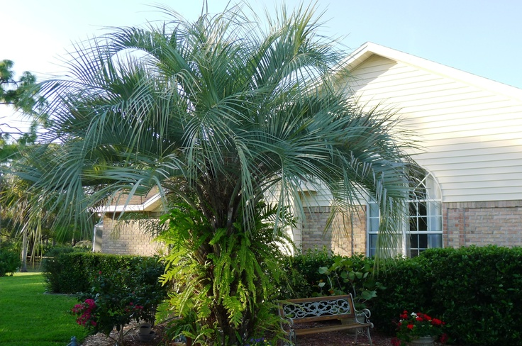 Ferny palm tree next to my house attracts birds of all kinds.: pinterest.com/pin/90775748709526563