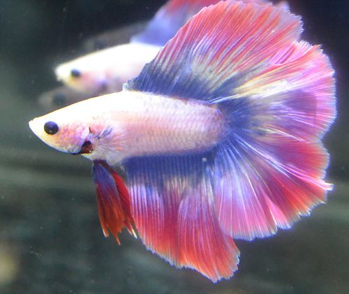 Live betta fish tie dyed 39 s brother dt hm male pink purple for Purple betta fish