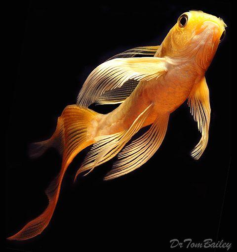 Butterfly koi water garden ideas pinterest for Butterfly koi fish