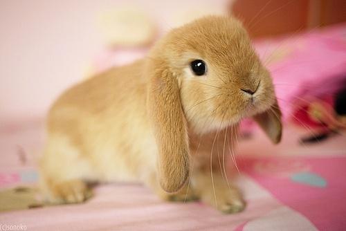 lop tan   bunny