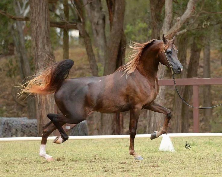 Chestnut arabian horses - photo#14