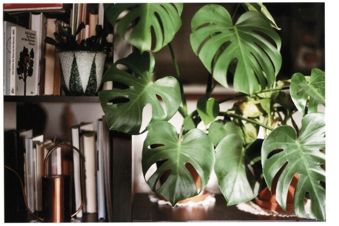 bastisRIKEs HOME ON FILM MONSTERA
