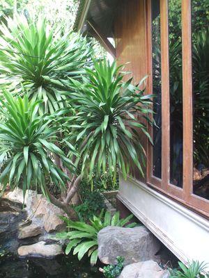 dragon tree dracaena draco folhas pinterest. Black Bedroom Furniture Sets. Home Design Ideas