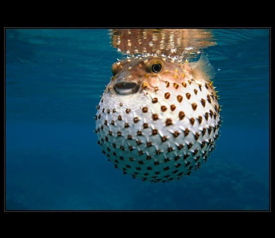 Blowfish sea life pinterest for Blowfish vs puffer fish