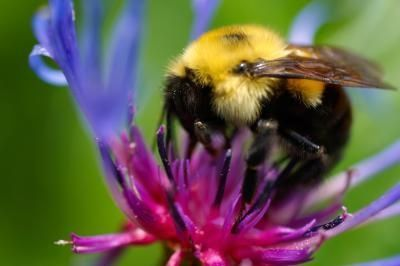 How to Get Rid of Bumble Bees Naturally  By Guide Fisher, eHow Contributor , last updated June 06, 2011