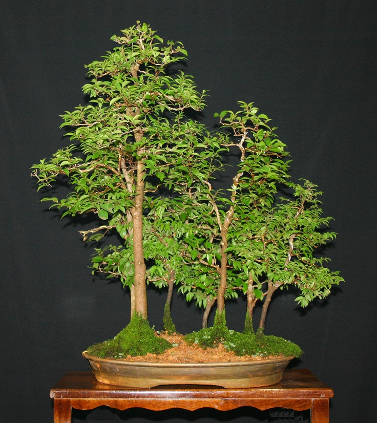 bonsai forest bonsai trees pinterest