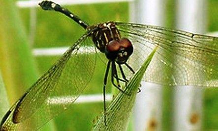 the pedestrian essay symbolism of dragonfly