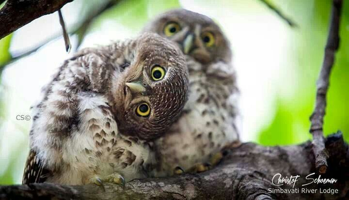 Owlets The Winged Ones Pinterest