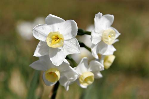 Http www birth flower com library dec images dec pic8 jpg narcissus