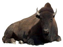buffalo transparent background   Digi PSP ℗ Tubes Seamless BkGrnds ...