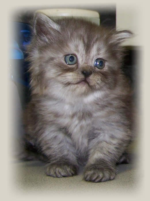 Persian Grey Ki...