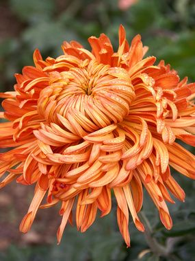 Chrysanthemum 'Cheerleader' | From Bluestone Perennials