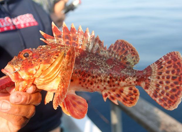 Sculpin fish outdoor channel ocean sea pinterest for Outside fish