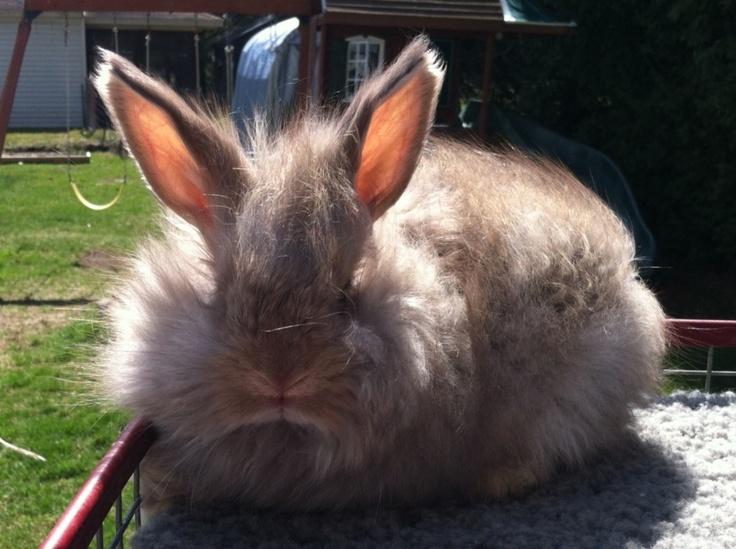 My chocolate agouti baby English angora bunny