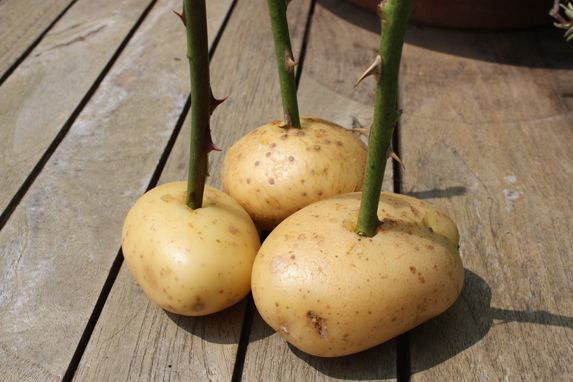 Grow roses from cuttings by plunging them into a potato and planting the cutting, potato and all.
