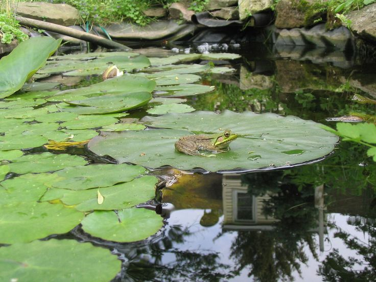 for my pond frogs and lilly pads backyard frog pond water lilly p