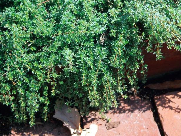 17 low maintenance plants and dwarf shrubs for Low maintenance low sun plants