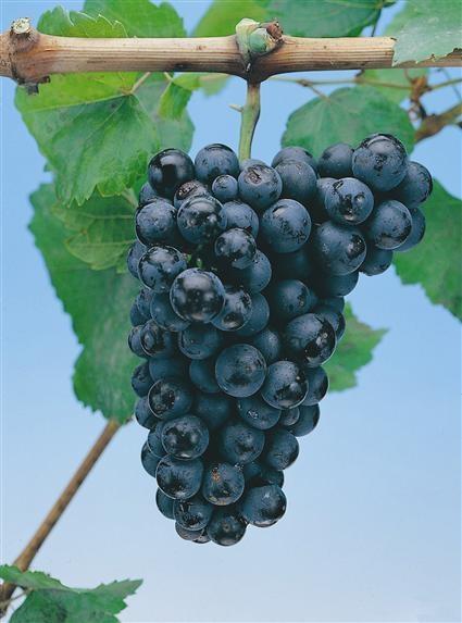 How to Graft Grape Vine