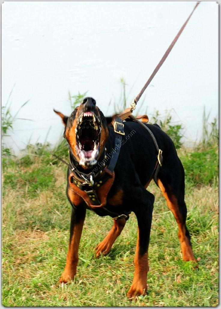 angry doberman pinscher - photo #28