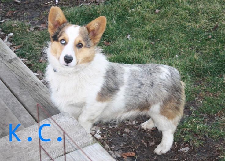 Bruno Farms - Corgi Puppies | Linus